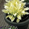 Image of White Feather Hosta