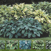 Image of Gardener's Dream Hosta Collection