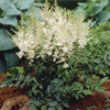 Image of White Younique Astilbe