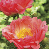 Image of Coral Sunset Peony