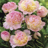 Image of Deluxe Raspberry Sundae Peony