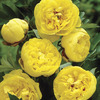 Image of Yellow Crown Peony