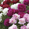 Image of Double Peonies Mixed