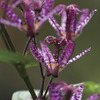 Image of Purple Beauty Toad Lily