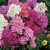 Image of Giant Hardy Phlox Mix