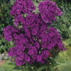 Image of Nicky Hardy Garden Phlox