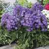 Image of Purple Kiss Border Phlox
