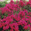 Image of Red Riding Hood Border Phlox