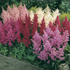 Image of Shade Loving Astilbe Mixed