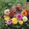 Image of Dinner Plate Dahlias Mixed