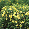 Image of Happy Returns Daylily