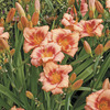 Image of Strawberry Candy Daylily