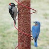 Image of Red Spiral Peanut Feeder - 17.5&quot;