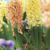 Image of Perfect Pair Hyacinth Mix