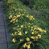 Image of Stella D'Oro Daylily