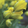 Image of Botanical Sylvestris Tulips