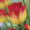 Image of Suncatcher Tulip