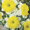 Image of Dinner Plate Trumpet Daffodil