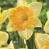 Image of Ferris Wheel Fragrant Daffodil