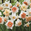 Image of Bulk Mixed Pink Daffodils