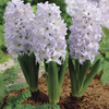 Image of Blue Eyes Hyacinth