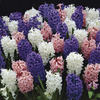 Image of Queen's Jubilee Hyacinth Blend
