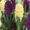 Image of Plum Perfect Hyacinth Blend