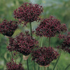 Image of Atropurpurea Allium