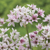 Image of Cameleon Allium