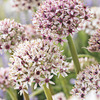 Image of Silverstring Allium