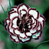 Image of Coconut Punch Dianthus