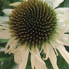 Image of Crazy White Coneflower