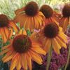 Image of Tiki Torch Coneflower