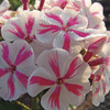 Image of Twister Giant Hardy Phlox