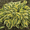 Image of Handsome Hosta Collection