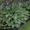 Image of Dark Hosta Collection