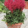 Image of Short and Sweet Astilbe Collection