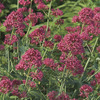 Image of Red Valerian Centranthus